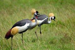 Grey crowned cranes, Maasai Mara Game Reserve, Kenya. Grey crowned cranes in Maasai Mara Game Reserve, Kenya Stock Images