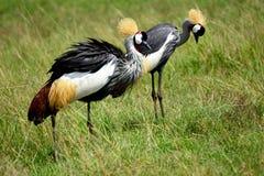Grey crowned cranes, Maasai Mara Game Reserve, Kenya. Grey crowned cranes in Maasai Mara Game Reserve, Kenya Royalty Free Stock Image