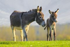 Cute baby donkey and mother on floral meadow. Grey cute baby donkey and mother on floral meadow Stock Image