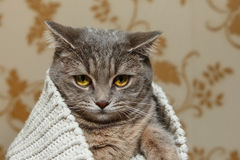Grey Cute Cat escocés se está sentando en el suéter blanco hecho punto Mirada divertida hermosa Fauna animal, animal doméstico in Fotos de archivo