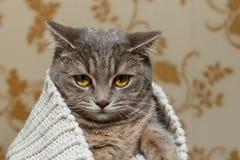 Grey Cute Cat scozzese sta sedendosi nel maglione bianco tricottato Bello sguardo divertente Fauna animale, animale domestico int Fotografie Stock