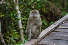 Grey cynomolgus monkeys something to eat (Indonesia). Grey cynomolgus monkeys sitting on the edge of a wooden deck and something to eat (Borneo / Kalimantan Stock Images