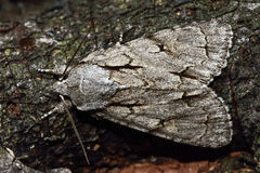 Free Grey Dagger Moth (Acronicta Psi) From Above Stock Photography - 71519252