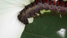 Grey dagger moth caterpillar, Acronicta psi, eating on a weeping willow leaf during a sunny afternoon in july. stock footage