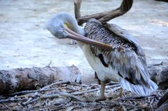 Grey Dalmatian pelican Royalty Free Stock Photography