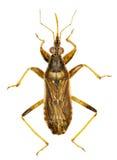 Grey Damsel Bug op witte Achtergrond Royalty-vrije Stock Foto