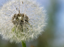 Grey dandelion with seeds. Royalty Free Stock Photo