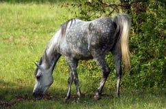 Grey dapple mare. Arabian grey mare  grazing in pasture Royalty Free Stock Photos