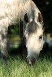 Grey dapple mare. Arabian grey mare  grazing in pasture Royalty Free Stock Image
