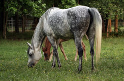 Grey dapple mare with foal. Arabian grey mare  grazing in pasture Stock Images