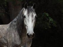 Grey dappled horse summer portrait Royalty Free Stock Image