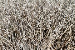 Grey dead dry bush. Macro dry gray bush without leaves background royalty free stock photos