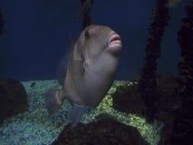 Grey del pesce balestra nero Immagini Stock