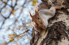 Grey della betulla del ritratto dello scoiattolo Immagini Stock