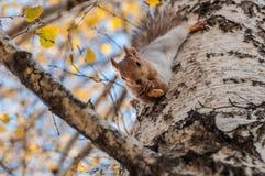 Grey della betulla del ritratto dello scoiattolo Immagine Stock