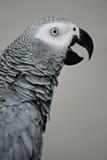 Grey di Africn Fotografia Stock Libera da Diritti