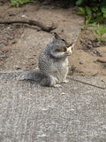 Grey Digger Squirrel Stock Photography