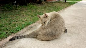 A grey dilute calico cat. A beautiful grey dilute calico cat is cleaning itself on the street royalty free stock image