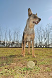 Grey dog Stock Images