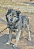 Grey dog 6 Stock Photo