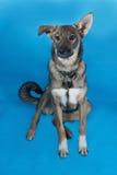 Grey dog collar sitting on blue Stock Images