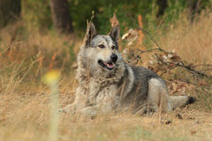 Grey dog lying outdoors Stock Photo
