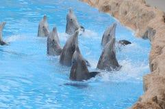 Grey Dolphin en un agua muy azul imagen de archivo libre de regalías