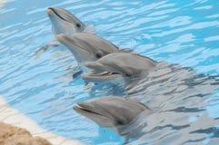 Grey Dolphin en un agua muy azul imágenes de archivo libres de regalías