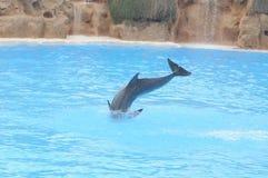 Grey Dolphin en un agua muy azul fotos de archivo libres de regalías
