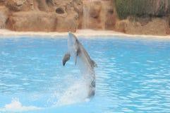 Grey Dolphin en un agua muy azul fotografía de archivo
