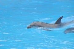 Grey Dolphin en un agua muy azul fotografía de archivo libre de regalías
