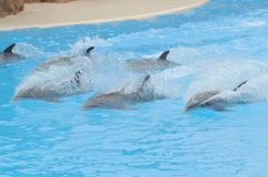 Grey Dolphin en un agua muy azul imagenes de archivo