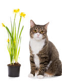 Grey domestic cat and daffodils Stock Photography