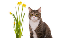 Grey domestic cat and daffodils Royalty Free Stock Photos
