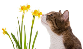 Grey domestic cat and daffodils Royalty Free Stock Images