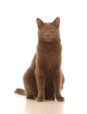 Domestic Cat  Royalty Free Stock Photos