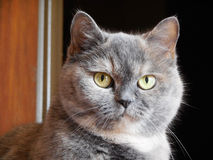 Grey domestic cat looking right Stock Images