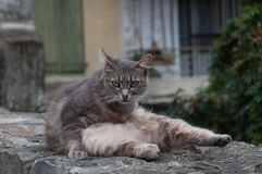 Grey domestic cat looking seriosly Royalty Free Stock Photography
