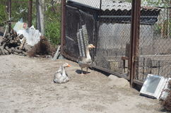 Grey domestic geese. In the poultry yard Stock Photography