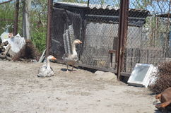 Grey domestic geese. In the poultry yard Royalty Free Stock Photo