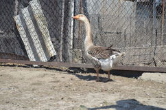 Grey domestic geese. In the poultry yard Royalty Free Stock Image