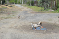 Grey domestic geese in the puddle. On the road Royalty Free Stock Photos