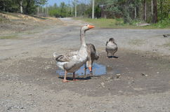 Grey domestic geese in the puddle. On the road Stock Image