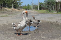 Grey domestic geese in the puddle. On the road Royalty Free Stock Photography