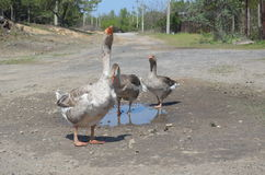 Grey domestic geese in the puddle. On the road Stock Photos