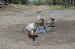 Grey domestic geese in the puddle. On the road Royalty Free Stock Images