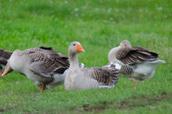 Grey domestic goose. On the green grass stock image