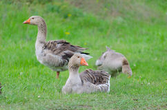 Grey domestic goose. On the green grass Stock Photography