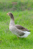 Grey domestic goose. On the green grass stock images