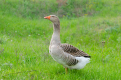 Grey domestic goose. On the green grass Royalty Free Stock Photography
